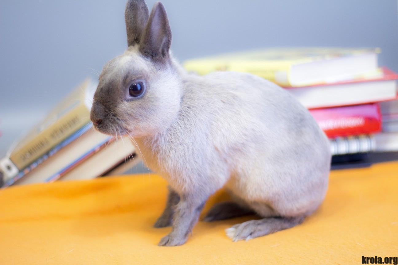 Красный калифорнийский кролик фото