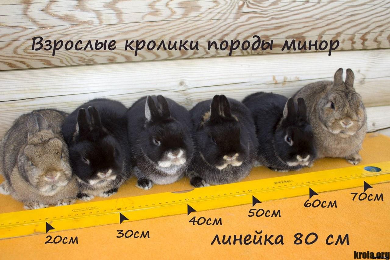 Декоративные Кролики Фото Взрослые Декоративные Кролики Уход