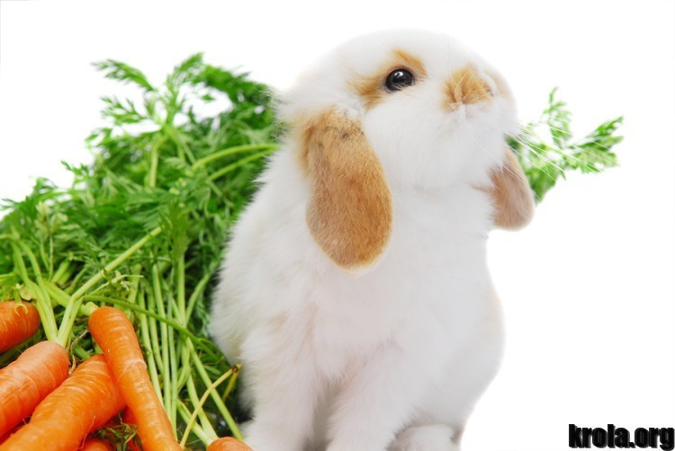 Cute-curious-white-lop-ear-baby-rabbit-sitting-next-to-his-rabbit-food