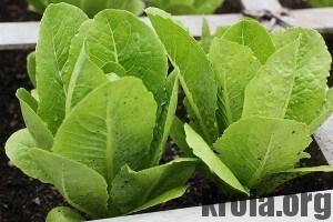 lettuce-300x200